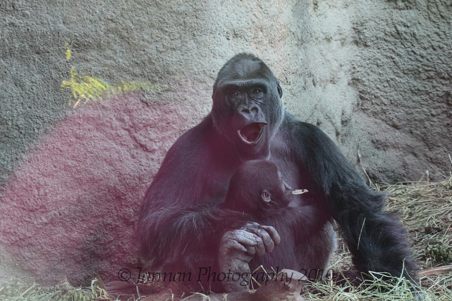 1221 Gorilla and baby